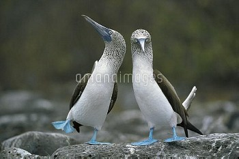 Blue-footed Booby (Sula nebouxii) pair performing courtship dance, Punta Cevallos, Espanola Island,