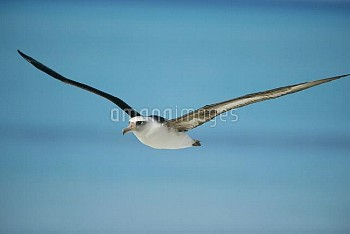Laysan Albatross (Phoebastria immutabilis) navigating across ocean from North Pacific feeding ground