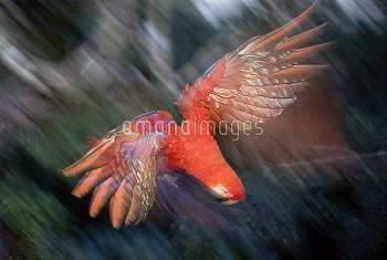 Scarlet Macaw (Ara macao) flying in rainforest canopy, upper Tambopata River, Peruvian Amazon, Peru