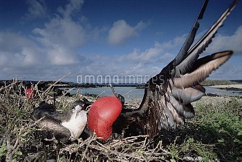 Great Frigatebird (Fregata minor) recently formed pair, female inspecting male in courtship display