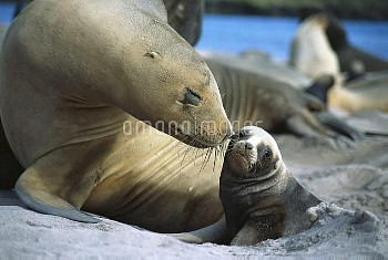 Hooker's Sea Lion (Phocarctos hookeri) cow bonding with young pup, Enderby Island, Auckland Islands,