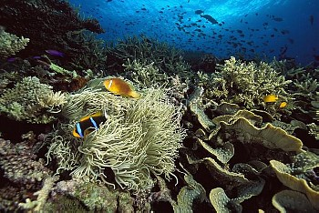White-bonnet Anemonefish (Amphiprion leucokranos) and an Orange-fin Anemonefish (Amphiprion chrysopt