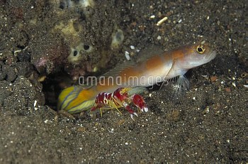 Goby (Amblyeleotris sp) keeping watch while a Snapping Shrimp (Alpheus randalli) excavates their sha