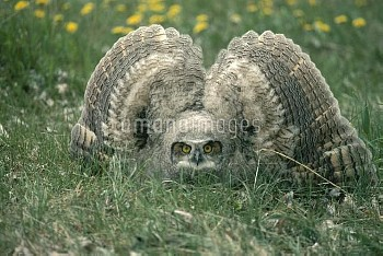 Great Horned Owl (Bubo virginianus) chick in defensive posture, spring, Idaho