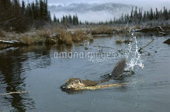 American Beaver (Castor canadensis) slapping water with tail in boreal pond, Alaska