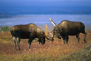 Moose (Alces alces shirasi) two large bulls fighting