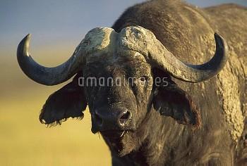 Cape Buffalo (Syncerus caffer) portrait, Kenya