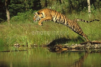 Siberian Tiger (Panthera tigris altaica) leaping across river, Asia