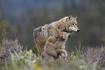 Gray Wolf (Canis lupus) with begging pup, North America