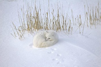 Arctic Fox (Alopex lagopus) curled up resting in snow, Hudson Bay, near Churchill, Manitoba, Canada