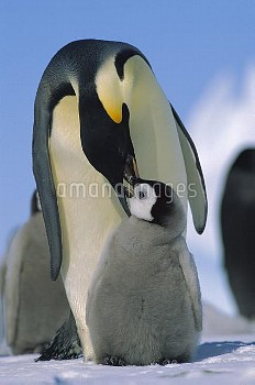 Emperor Penguin (Aptenodytes forsteri) parent feeding chick, Antarctica