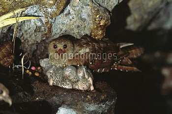 Oilbird (Steatornis caripensis) parent and chicks on nest in Aripo Caves, birds use a form of echolo
