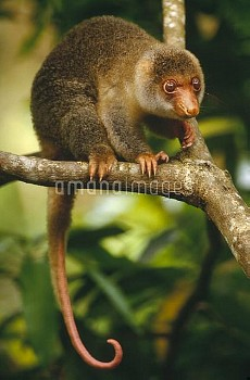 Short-tailed Spotted Cuscus (Spilocuscus maculatus) juvenile near Kivaumai Village, Papua New Guinea