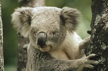 Koala (Phascolarctos cinereus) portrait, eastern forested Australia
