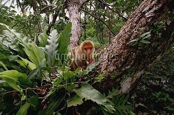 Short-tailed Spotted Cuscus (Spilocuscus maculatus) young near Kivaumai Village, Papua New Guinea