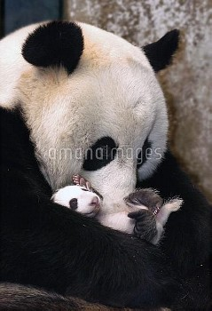 Giant Panda (Ailuropoda melanoleuca) mother and two week old infant, Wolong Nature Reserve, China