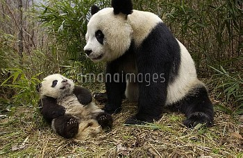 Giant Panda (Ailuropoda melanoleuca) adult and baby in bamboo forest at the China Conservation and R