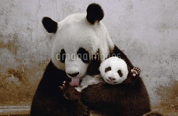 Giant Panda (Ailuropoda melanoleuca) named Gongzhu, captive born and raised, learning parenting skil