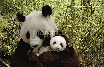 Giant Panda (Ailuropoda melanoleuca) Gongzhu and cub in bamboo forest, Wolong Nature Reserve, China,