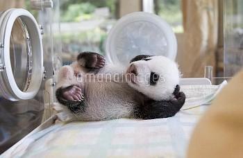Giant Panda (Ailuropoda melanoleuca) 37 day old cub, Ying Ying, in incubator, Wolong Nature Reserve,
