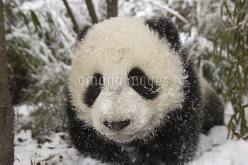 Giant Panda (Ailuropoda melanoleuca) six month old cub in snow, Wolong Nature Reserve, China