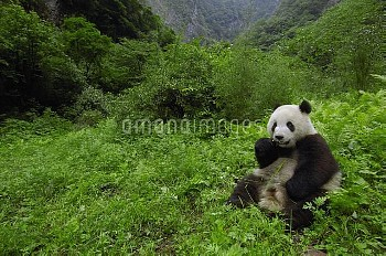 Giant Panda (Ailuropoda melanoleuca) sitting in vegetation eating bamboo, Wolong China Conservation