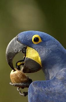 Hyacinth Macaw (Anodorhynchus hyacinthinus) cracking open a Piassava Palm (Attalea funifera) nut to