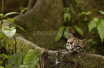 Ocelot (Leopardus pardalis) resting on buttress root on the forest floor in the Amazon rainforest, E