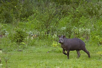 Brazilian Tapir (Tapirus terrestris) wild male, Serra Da Bodoquena region, Pantanal, Brazil