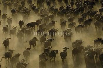 Cape Buffalo (Syncerus caffer) herd stampeding, Africa