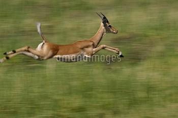Impala (Aepyceros melampus) running and leaping, Africa