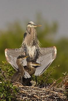 Great Blue Heron (Ardea herodias) parent with two chicks on nest, Venice, Florida