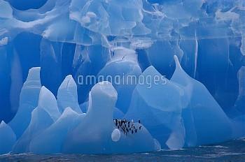 Chinstrap Penguin (Pygoscelis antarctica) group riding iceberg, Weddell Sea, Antarctica