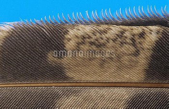 Long-eared Owl (Asio otus) close up of a flight feather showing barbs which make up the vane, Europe