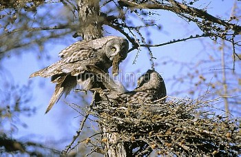 Great Gray Owl (Strix nebulosa) bringing prey back to mate who is incubating eggs on nest, Siberia
