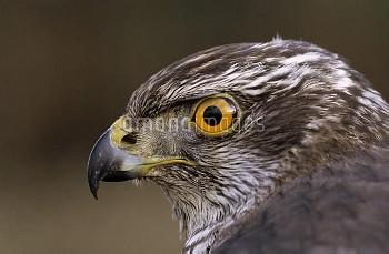 Northern Goshawk (Accipiter gentilis) close up, Europe
