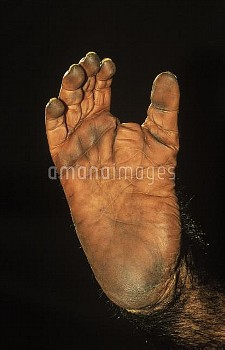 Chimpanzee (Pan troglodytes) detail of foot