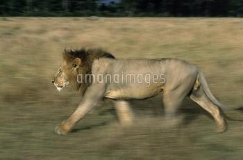 African Lion (Panthera leo) male walking, Africa