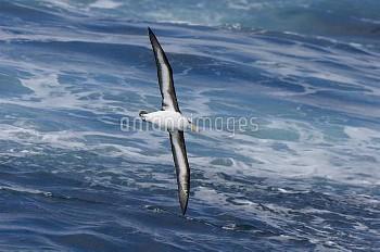 Black-browed Albatross (Thalassarche melanophrys) flying, Drake Passage, Antarctica