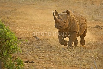 Black Rhinoceros (Diceros bicornis) running, Tsavo East National Park, Kenya