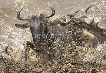Blue Wildebeest (Connochaetes taurinus) climbing onto the riverbank of the Mara River during migrati