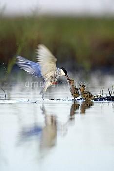 Whiskered Tern (Chlidonias hybrida) parent feeding chicks on nest in mid-flight, Donana National Par