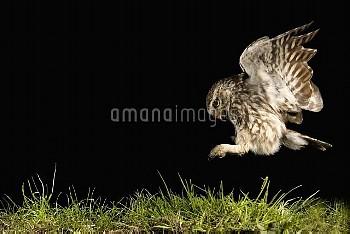 Little Owl (Athene noctua) hunting, Netherlands