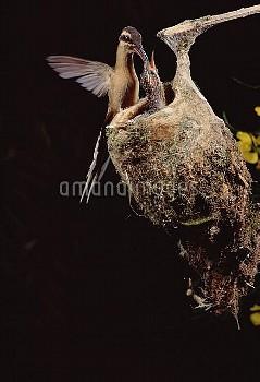 Planalto Hermit (Phaethornis pretrei) hummingbird feeding young at nest, Brazil