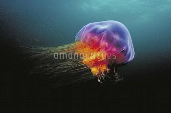 Lion's Mane (Cyanea capillata) jellyfish, Atlantic Ocean, Nova Scotia, Canada
