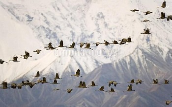 Sandhill Crane (Grus canadensis) flock flying past snow and ice covered face of Mt McKinley at sunri