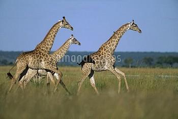 Giraffe (Giraffa camelopardalis) trio running, Chobe National Park, Botswana