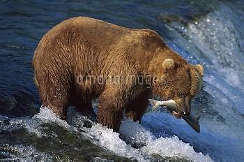 Grizzly Bear (Ursus arctos horribilis) fishing for salmon, Brooks River, Katmai National Park, Alask