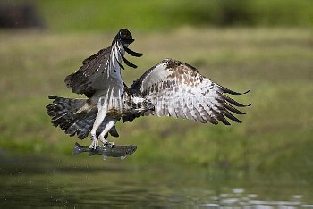 Osprey (Pandion haliaetus) flying with trout in talons, Finland