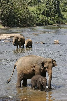 Asian Elephant (Elephas maximus) females with calves standing in river, Pinnawala Elephant Orphanage